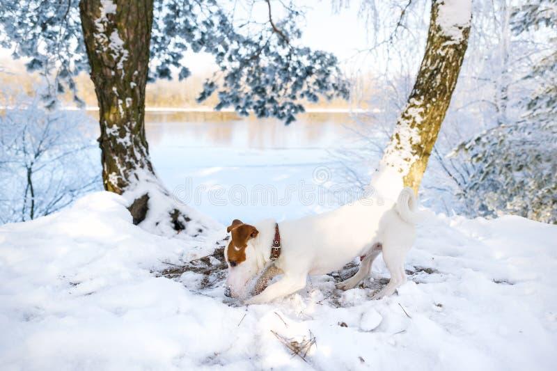 El perrito desconcertado de la raza Jack Russell Terrier está en el rastro en el bosque del invierno imagenes de archivo