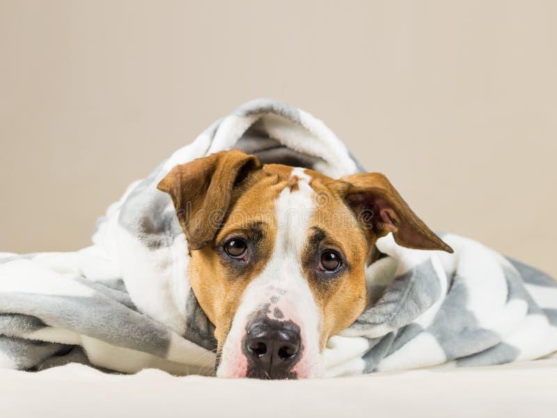 El perrito divertido en manta caliente del tiro descansa en dormitorio fotografía de archivo