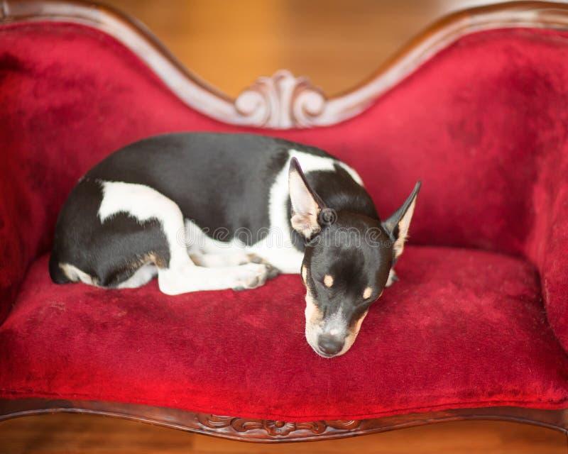 El perrito el dormir foto de archivo