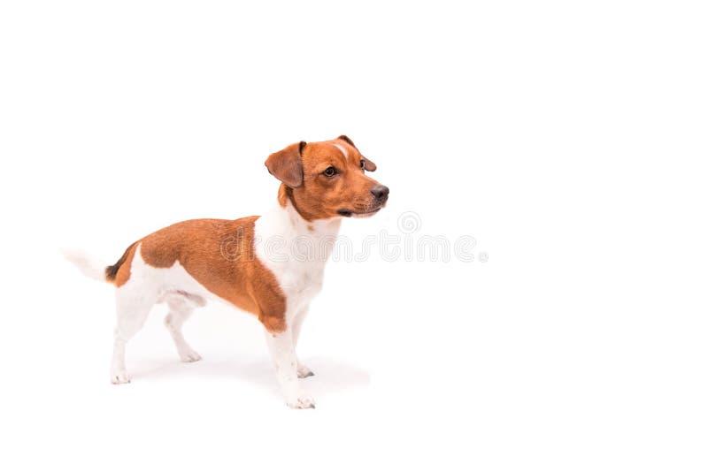 El perrito está mirando para arriba y tiene espacio libre para los subtítulos imagen de archivo libre de regalías
