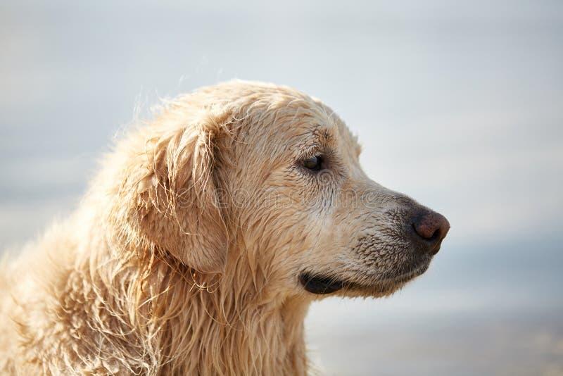 El perrito feliz Labrador goza el jugar en la playa con el dueño imagenes de archivo