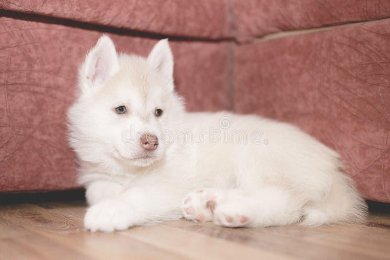 El perrito fornido lindo está triste imagenes de archivo