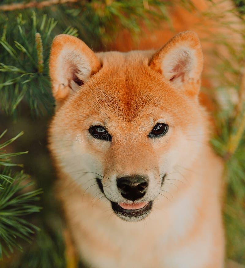 El perrito hermoso se sienta en el campo en colores Perro de Siba Inu foto de archivo libre de regalías