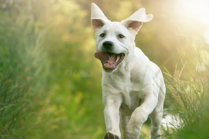 El perrito joven del perro de Labrador corre con su lengua que cuelga hacia fuera fotos de archivo libres de regalías