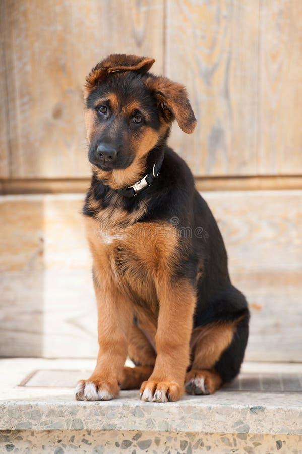 El perrito lindo del pastor alemán se sienta en la puerta principal de una granja imagenes de archivo
