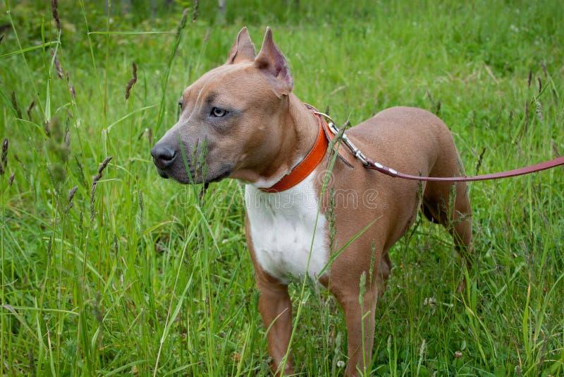 El perrito lindo del terrier de Staffordshire americano se está colocando en un prado de la primavera De cinco meses foto de archivo