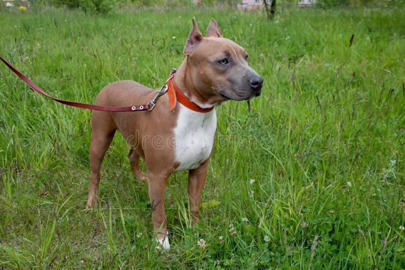 El perrito lindo del terrier de Staffordshire americano se está colocando en un prado verde De cinco meses imagenes de archivo