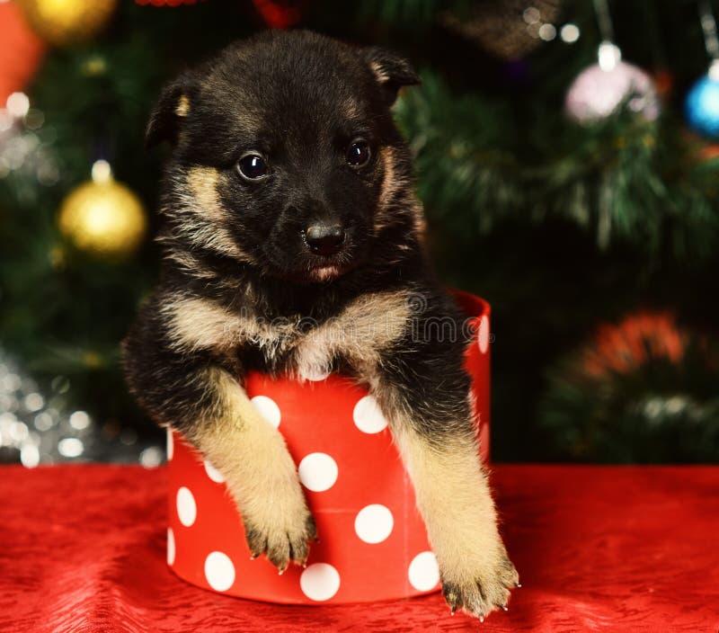 El perrito mira fuera de la caja de la Navidad manchada minúscula en rojo foto de archivo libre de regalías
