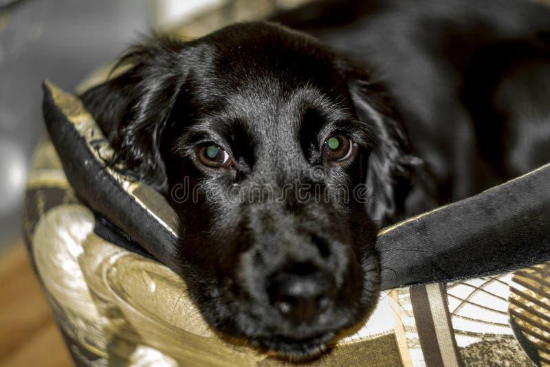 El perrito negro de Cocker Spaniel está mintiendo en su litera imagen de archivo libre de regalías