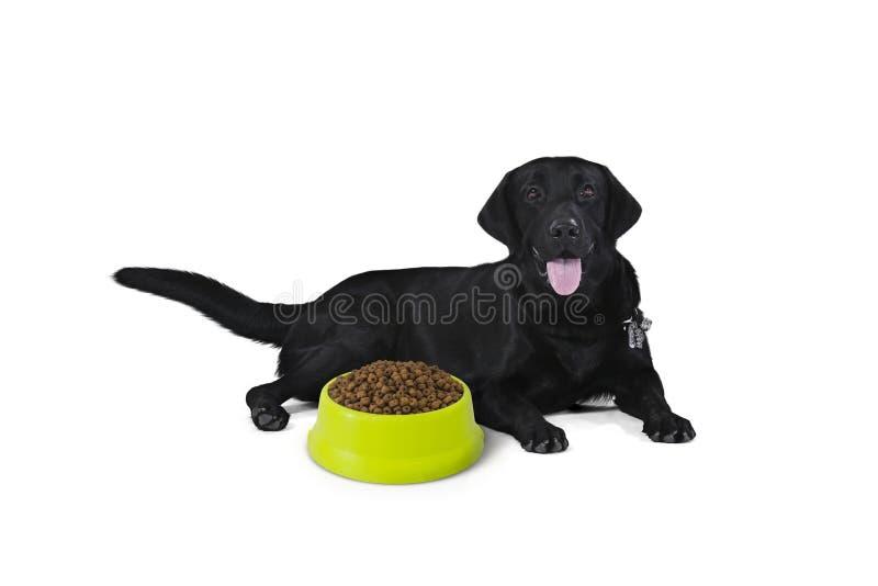 El perrito negro del labrador retriever de 1 año, espera que se sienta para come imagen de archivo