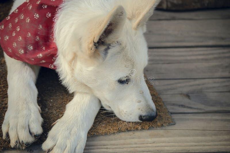 El perrito puso su cabeza en el piso fotos de archivo