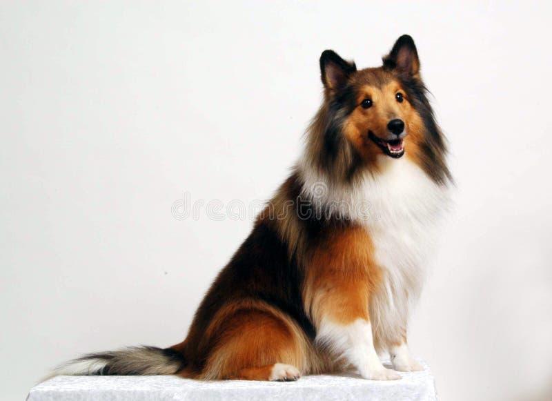 El perrito que planteaba la casta imagenes de archivo