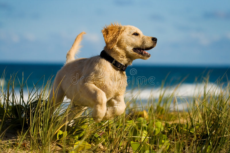 El perrito que salta en la playa foto de archivo