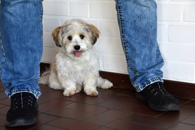El perrito tiene sí mismo de Havanese en seguridad entre las piernas de su dueño fotos de archivo