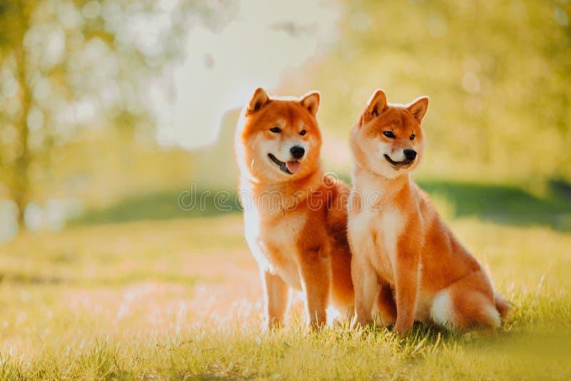 El perrito y el perro hermosos se sienta en el campo en colores Perro de Siba Inu fotografía de archivo libre de regalías