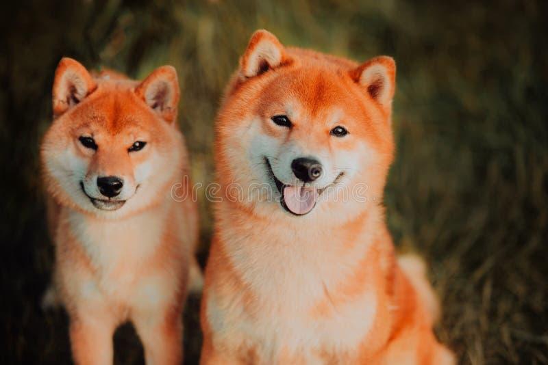 El perrito y el perro hermosos se sienta en el campo en colores Perro de Siba Inu imágenes de archivo libres de regalías