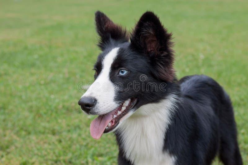 El perrito yakutian lindo del laika con diversos ojos se está colocando en la hierba verde Animales de animal doméstico imagen de archivo