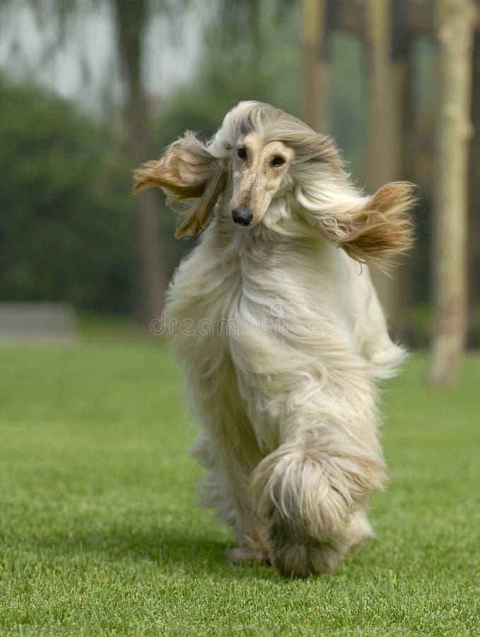 El perro acaricia afgano imagen de archivo