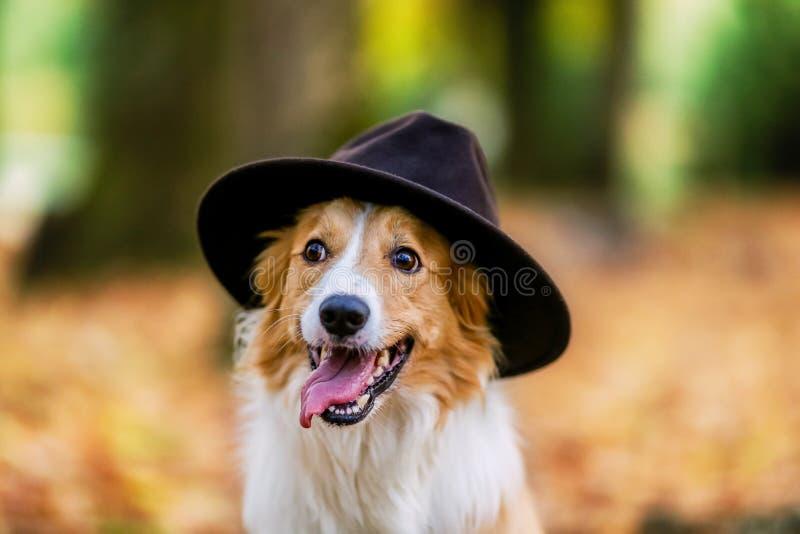 El perro amarillo del border collie lleva un sombrero imagenes de archivo