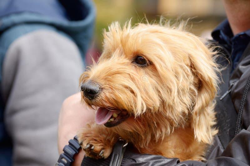 El perro basset es un perro de caza imágenes de archivo libres de regalías