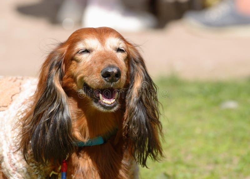El perro basset es un perro de caza imagenes de archivo