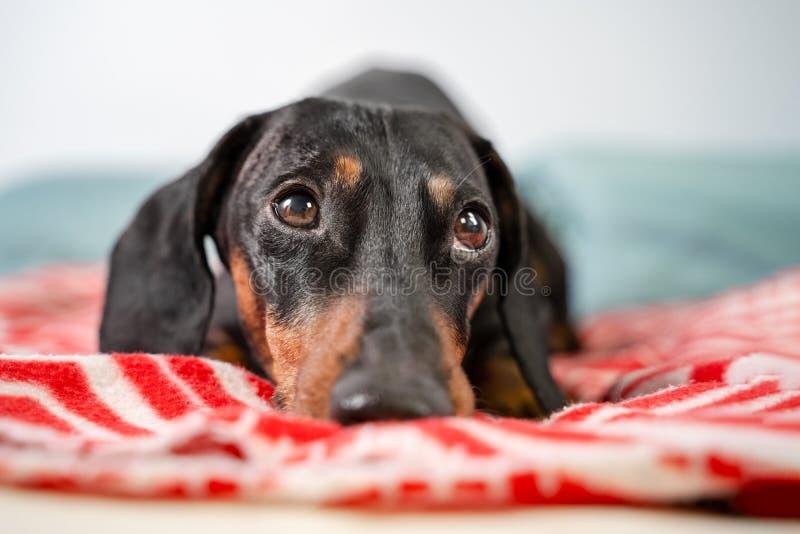 El perro basset joven, negros divertidos y broncean, mentira cubierta en manta del tiro y el caer dormido fotografía de archivo libre de regalías