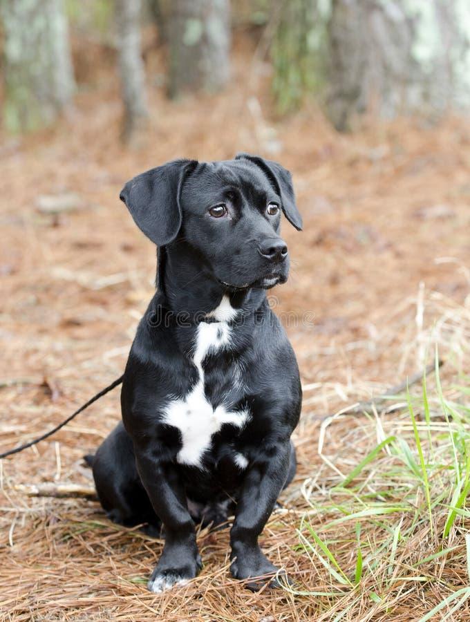 El perro basset negro lindo del beagle mezcló el perro callejero del perro de la raza fotografía de archivo libre de regalías