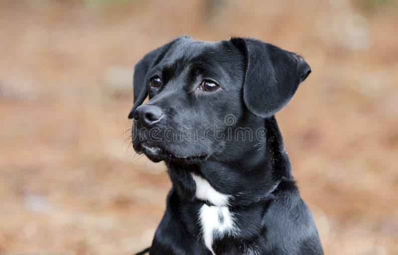 El perro basset negro lindo del beagle mezcló el perro callejero del perro de perrito de la raza foto de archivo libre de regalías