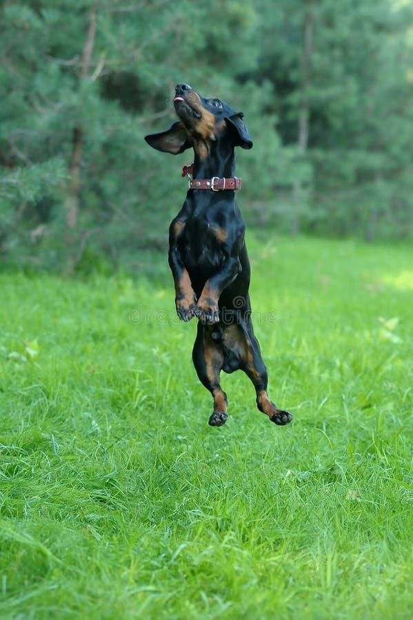 El perro basset que salta en la hierba fotografía de archivo libre de regalías