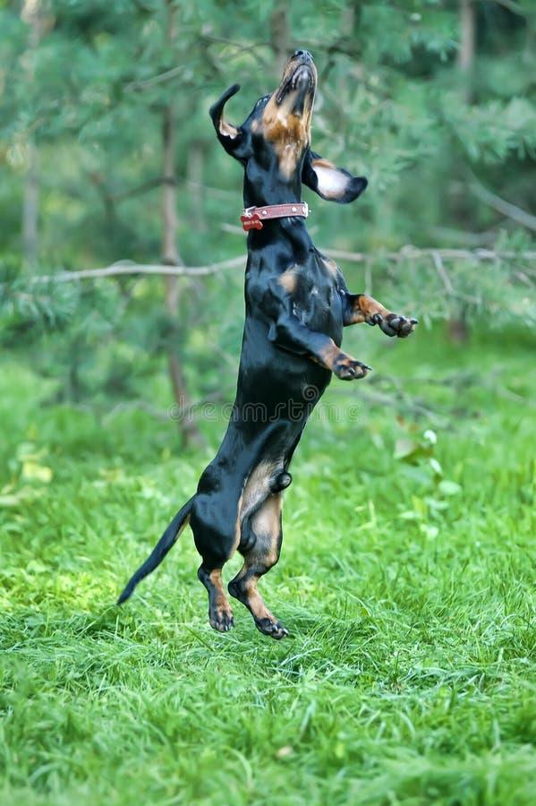El perro basset que salta en la hierba fotos de archivo