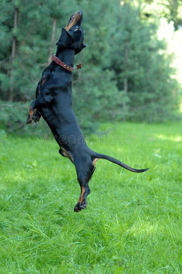 El perro basset que salta en la hierba imagen de archivo