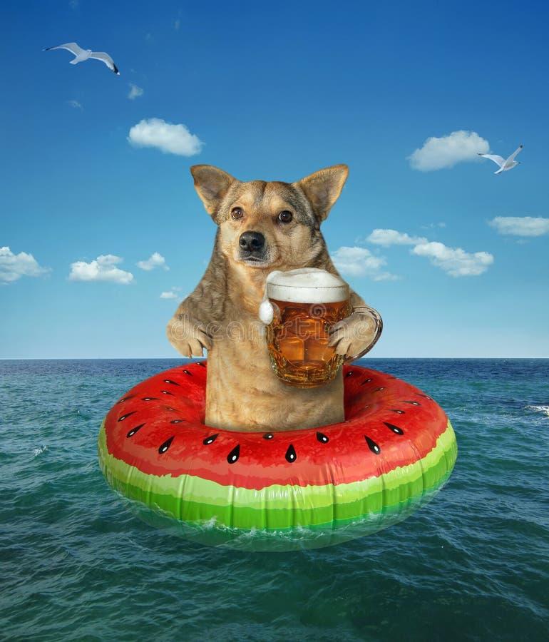 El perro bebe la cerveza en un anillo de la nadada fotos de archivo libres de regalías