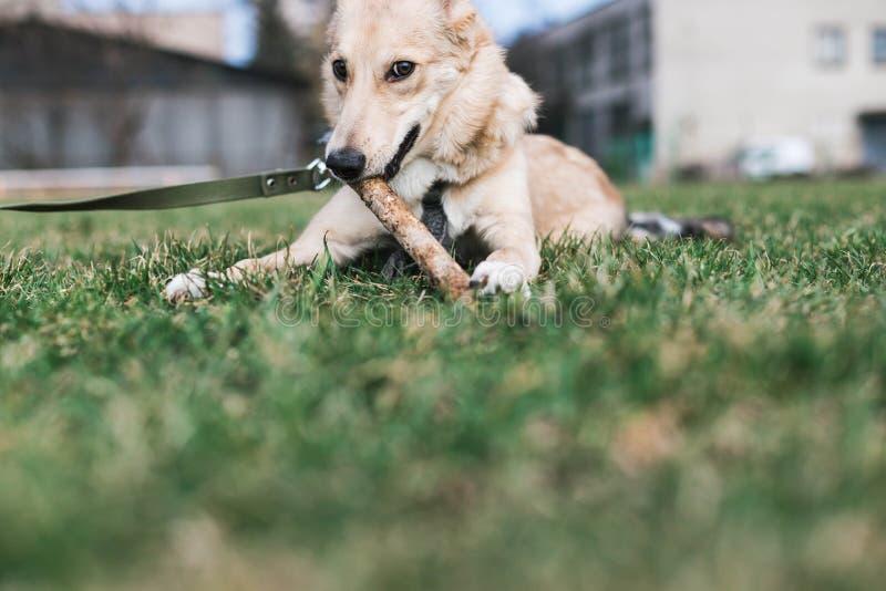 El perro beige, perro esquimal mordisca un palillo foto de archivo libre de regalías