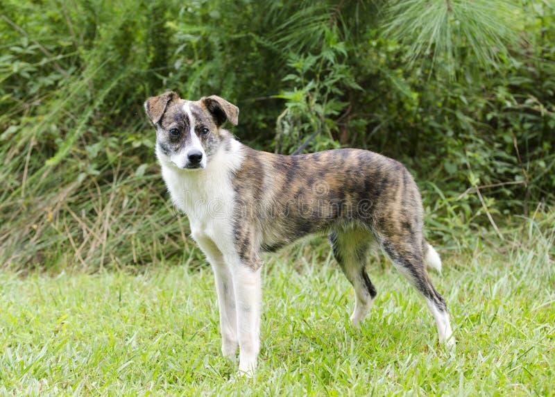 El perro berrendo y blanco del ganado del schipperke mezcló el perro de la raza imagenes de archivo