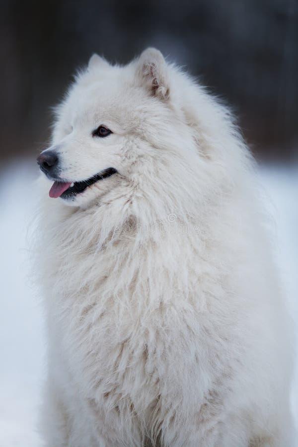 El perro blanco se sienta y mira fijamente en la distancia imagen de archivo libre de regalías