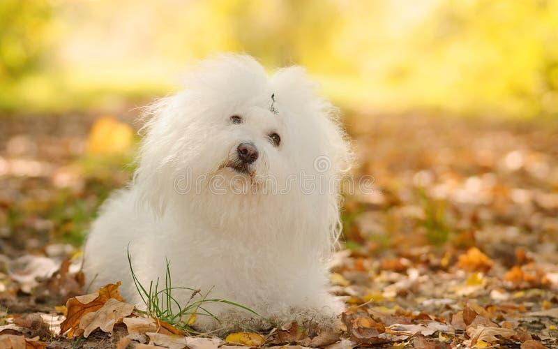El perro boloñés de Bichon se relaja en parque foto de archivo
