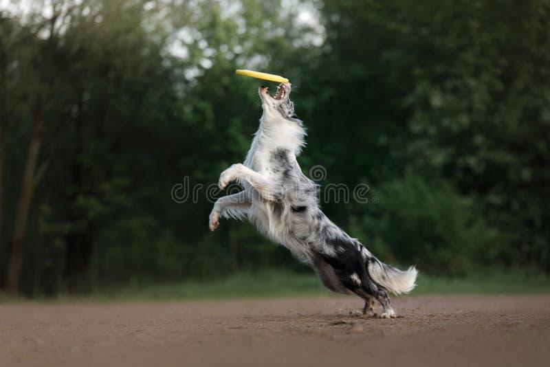 El perro coge el disco Deportes con el animal doméstico Border collie activo foto de archivo