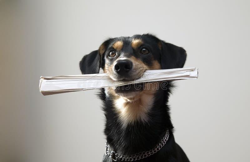 El perro con el encadenamiento del metal es periódico de la explotación agrícola imagen de archivo libre de regalías