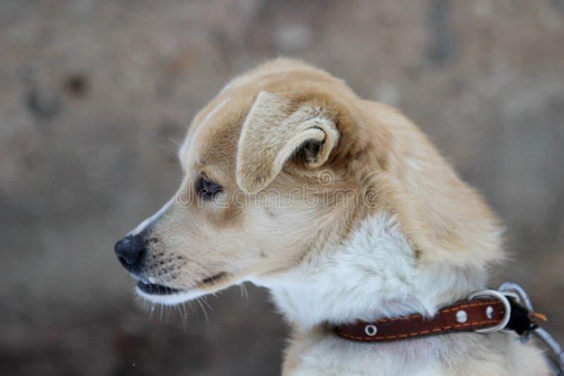 El perro con la mordedura incorrecta se sienta en el frío imagen de archivo