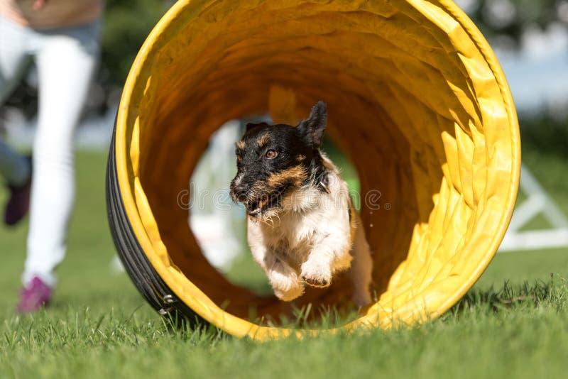 El perro corre a trav?s de un t?nel de la agilidad - Jack Russell Terrier imágenes de archivo libres de regalías