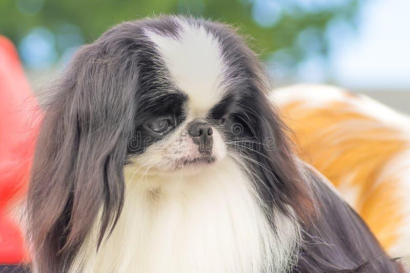 El perro de aguas japonés imágenes de archivo libres de regalías