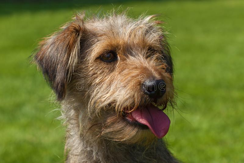 El perro de aguas mezclado persigue el perro de aguas imagen de archivo