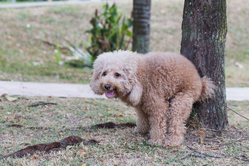 El perro de caniche pooping defeca en hierba en el parque imagenes de archivo