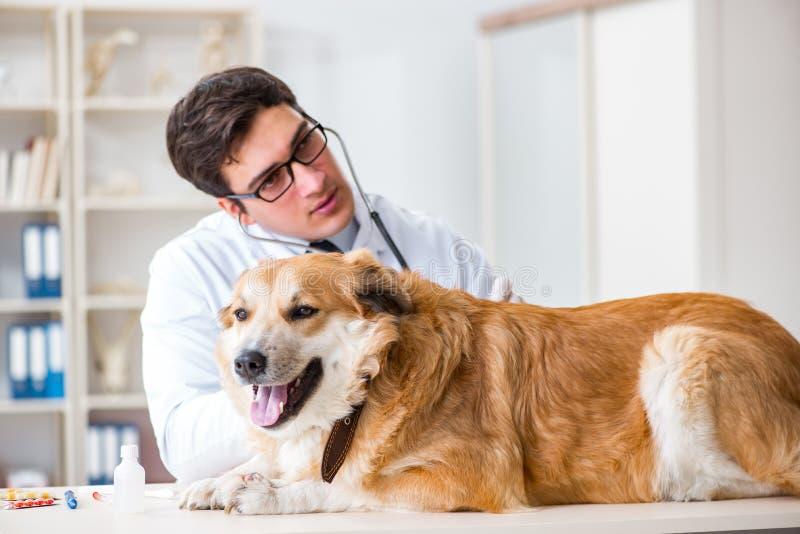 El perro de examen del golden retriever del doctor en clínica del veterinario fotos de archivo