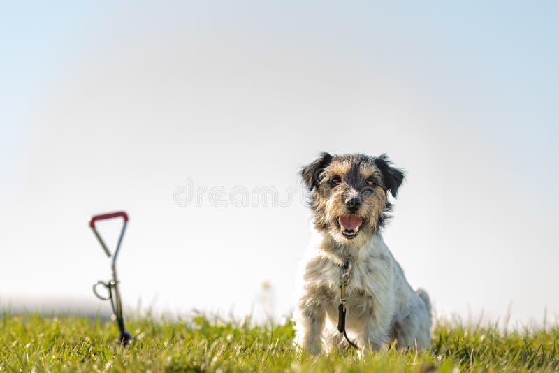 El perro de Jack Russell Terrier es el esperar atado a un gancho de la tierra en el prado fotos de archivo