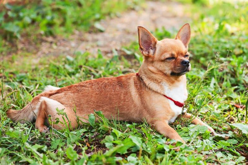 El perro de la chihuahua en fondo de la hierba verde con los ojos se cerró foto de archivo libre de regalías