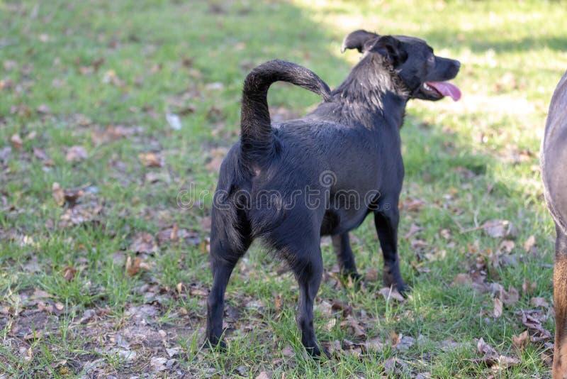 El perro de la mezcla de Labrador se está colocando lejos sobre un campo verde Perro lindo del fugitivo fotografía de archivo