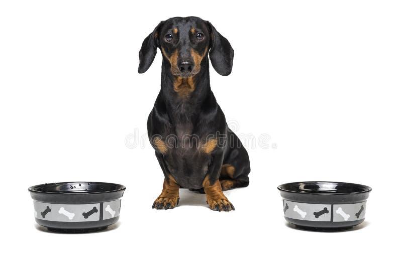 El perro de la raza del perro basset, negro y broncea, esperando para tener su comida llenada cuenco aislada en el fondo blanco imagen de archivo