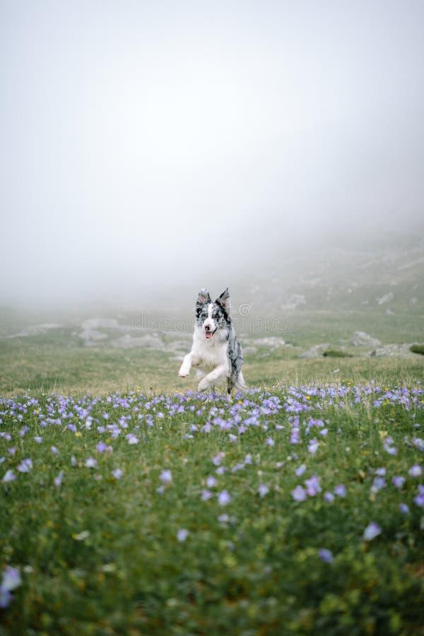 El perro de la raza del border collie corre en un campo de flor, campo y flores imagenes de archivo