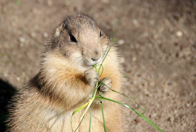 El perro de las praderas está comiendo la hierba fotografía de archivo libre de regalías